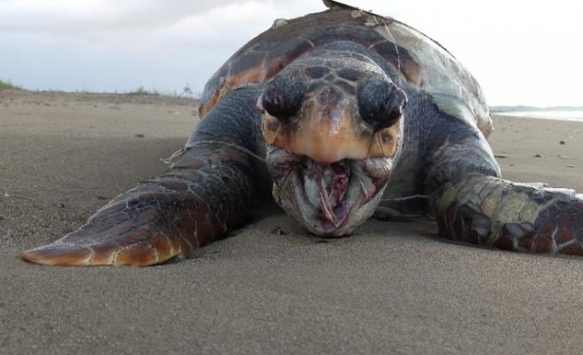 30 kilometrelik sahil bandında 6 ayda 14 caretta caretta ölü bulundu