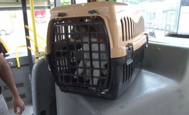 (ÖZEL) Belediye otobüsünde sıkışan kedi şoförün 10 saat uğraşı sonrasında kurtarıldı