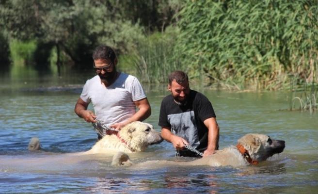 Dünyaca ünlü kangallar, kavurucu sıcaklarda ırmakta yüzerek serinliyorlar