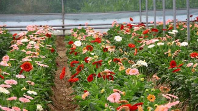 Kesme çiçekler Türkiye'nin dört bir yanına gönderiliyor