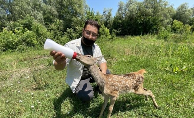 Köpeklerin saldırısından kurtarılan kızıl geyik ve tarlada bulunan yavru karaca özel bakıma alındı