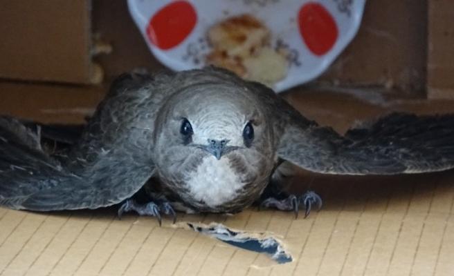Odaya giren ebabil kuşu görenleri şaşkına çevirdi