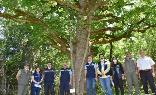 (Özel) Kastamonu'daki 500 yıllık fındık ağaçları Gen Koruma Ormanı ilan edildi