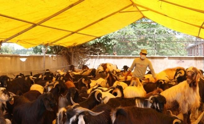 (Özel) Kurban pazarında keçiye talep arttı