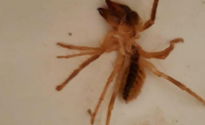 Sarıkız örümceği vatandaşları tedirgin etti