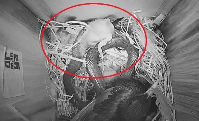 Sığırcık kuşu yavrularını korumak için yılanla böyle mücadele etti