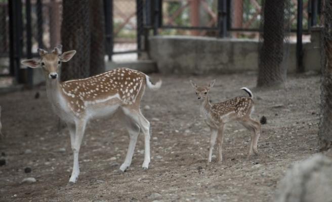 Tarsus Doğa Parkı'nın yeni sakinleri; 7 minik ceylan ve geyik yavrusu