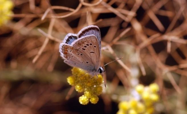 Türkiye kelebekleri risk altında