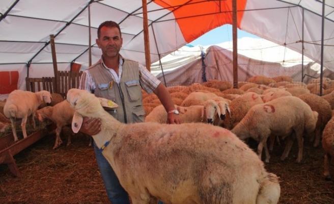 Yozgat'ın kuyruklu koçları kurban pazarında yoğun ilgi gördü