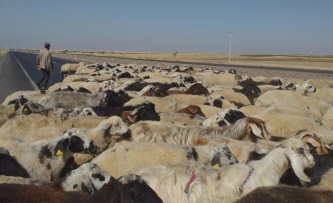 50 derece sıcaklıkta çalışan çobanların zorlu mücadelesi
