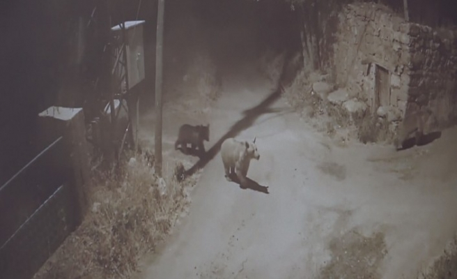 Bal yemek için köye inen ayılar, kameralara yansıdı