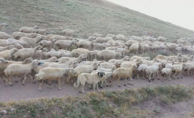 Kangallara genetik koruma, çiplerle takip edilecekler