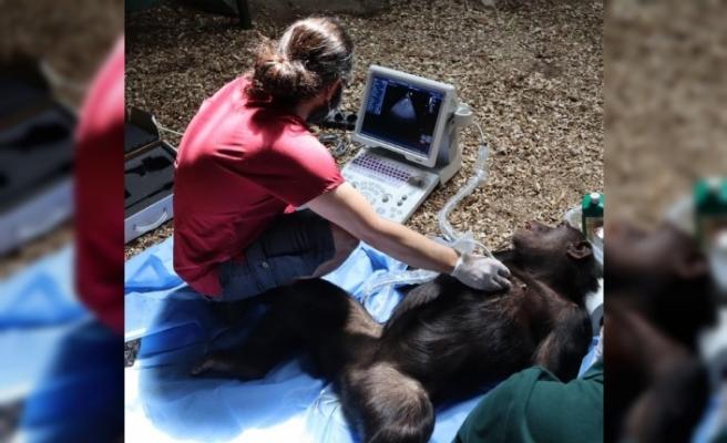 Şempanzelere kalp muayenesi