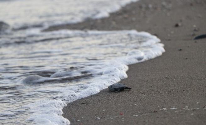Yavru Caretta Carettalar denizle buluşmaya başladı