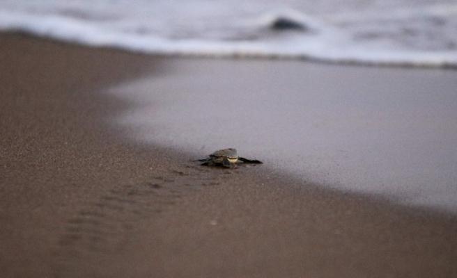 Yavru kaplumbağalar Akyatan Sahili'nde denizle buluştu