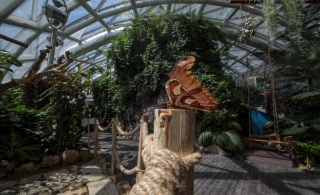 """Dünyanın en büyük kelebeği """"Atlas"""" Konya Tropikal Kelebek Bahçesi'nde"""