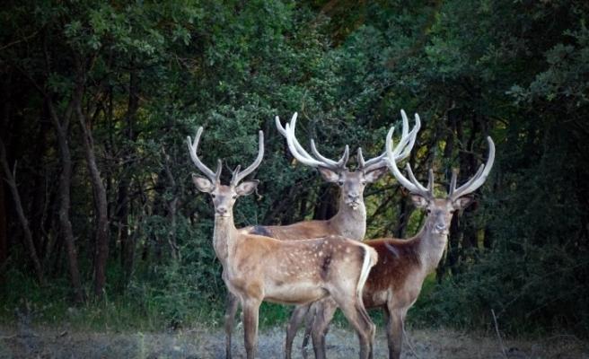 (Özel) İhaleyle ava çıkarılan 7 geyik mahkeme kararıyla kurtarıldı