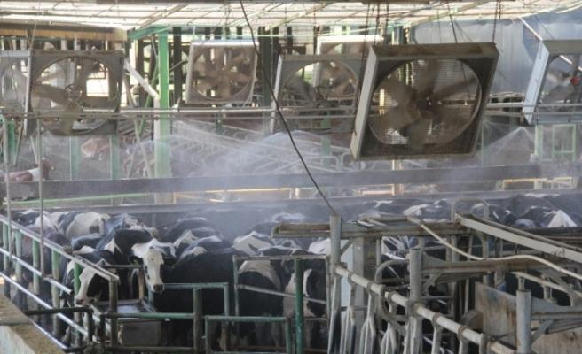Rekor sıcaklıkta inekler dev vantilatör ve duşla serinletiliyor