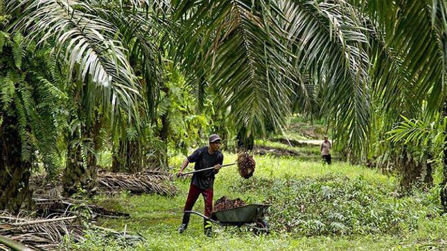 ABD'nin Malezyalı şirketten palm yağı ithalatı yasağı, 32 bin çiftçiyi etkileyecek