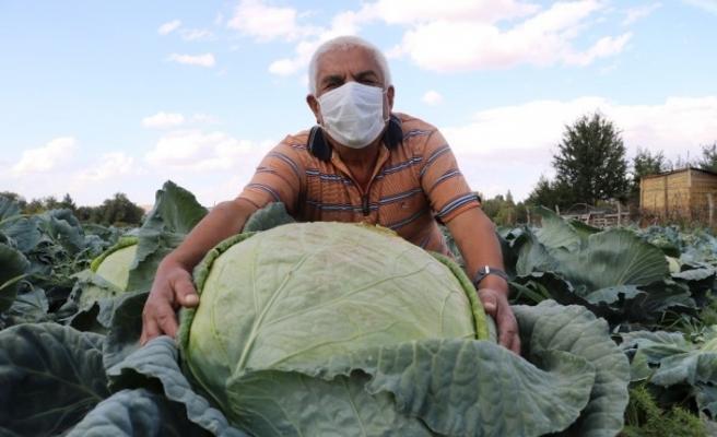 Ata tohumuyla üretilen dev lahanaların hasadı başladı