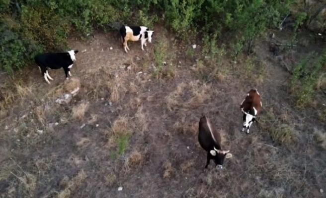 Çoban kaybolan ineklerini drone ile buldu