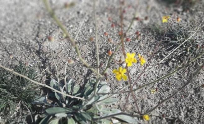 Dünya da sadece Salda Gölü kıyısında bulunan iki bitki türü koruma altına alındı
