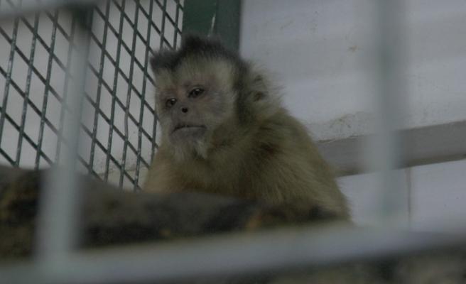 Hayvanat bahçesinden firar eden maymun elektrik akımına kapılarak yaralandı