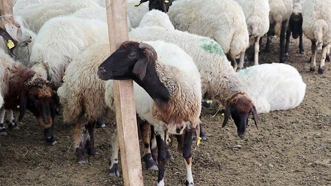 Hayvancılık faizsiz kredi desteğiyle canlandırılacak