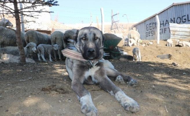 Kangal köpeğinin yürek ısıtan görüntüsü