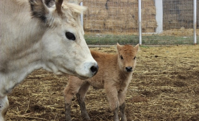 Klon sığır ailesi sürü oldu...Yeni dünyaya gelen yavru ilgi odağı
