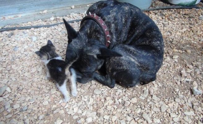 Köpek yavru kediyi emzirip, ona annelik yapıyor