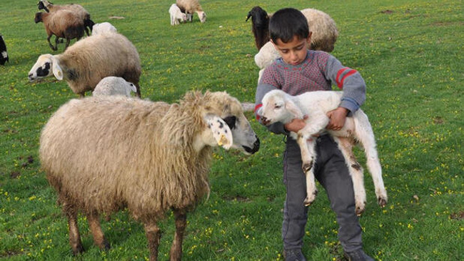 Küçükbaş hayvan varlığı Ziraat Bankası'nın katkılarıyla artıyor