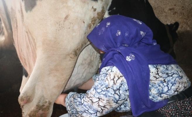 Mikro kredi ile aldığı inek geçim kaynağı oldu