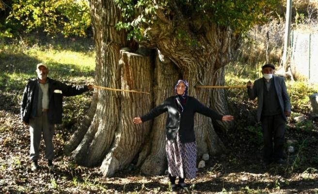 Dünyanın en yaşlı armut ağacı Artvin'de tespit edildi