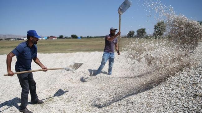 Kayseri, kabak çekirdeği ve çerezlik ay çekirdeği üretiminde Türkiye'de birinci