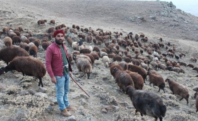 Koyun yetiştiricilerinin zorlu sonbahar mesaisi