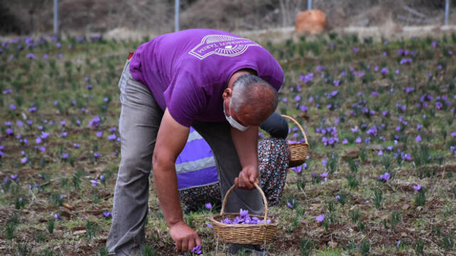 Muğla'da sezonun ilk safran hasadı!