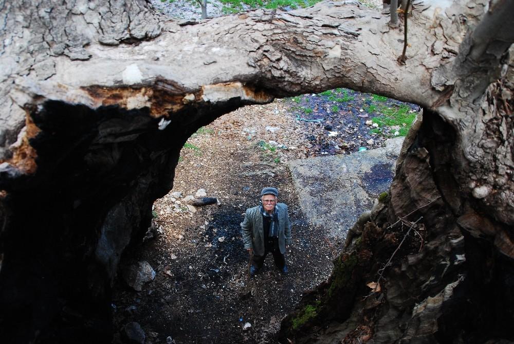 Antalya'da yıllara meydan okuyan 700 yıllık çınar