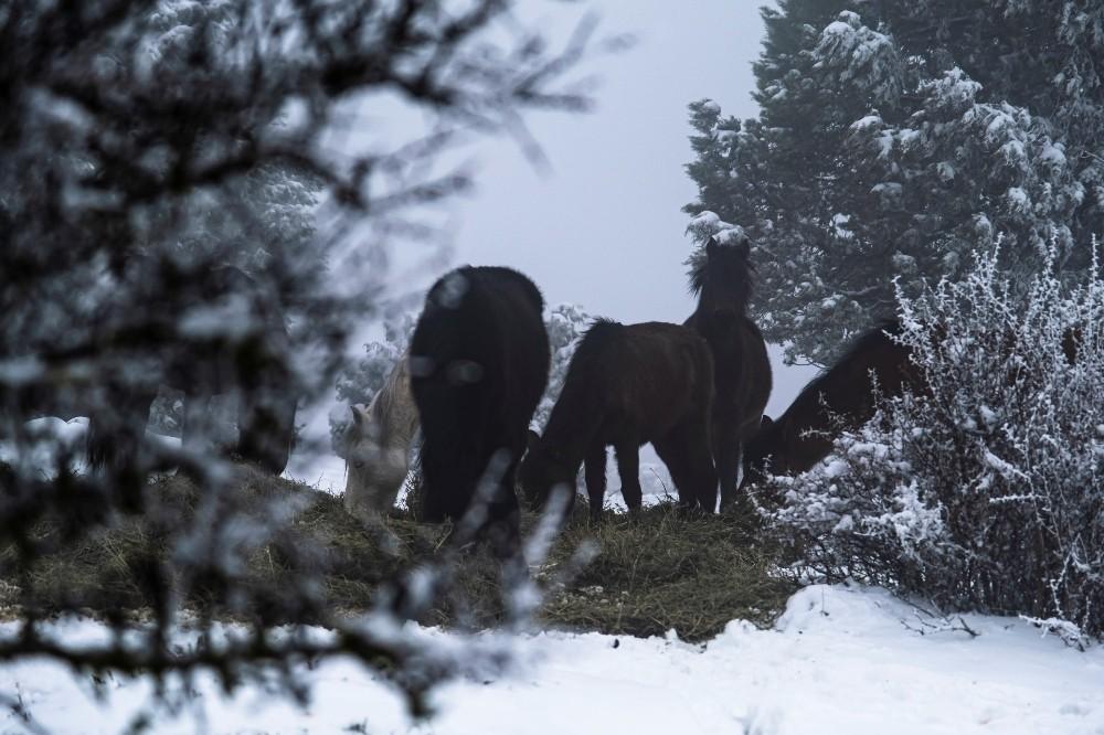 Manisa'nın simgesi yılkı atları karlı havada unutulmadı