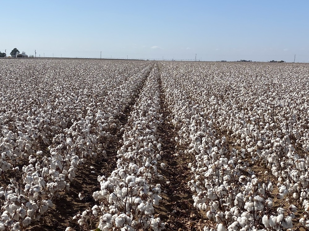 Amerika'ya kabul edilen ilk Türk tohumu