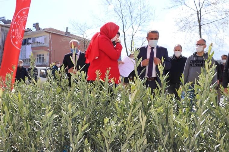Samsun'da 7 bin 500 zeytin fidanı dikildi: Zeytincilik yeniden canlanıyor