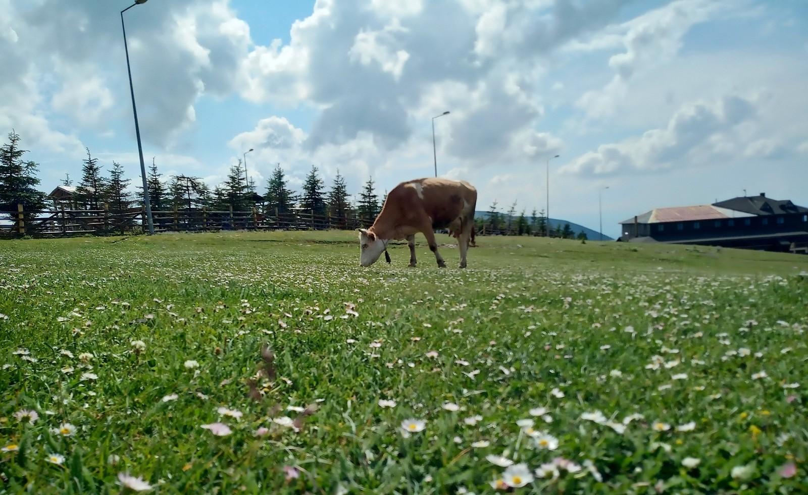 Samsun'da süt sığırcılığı geliştirilecek