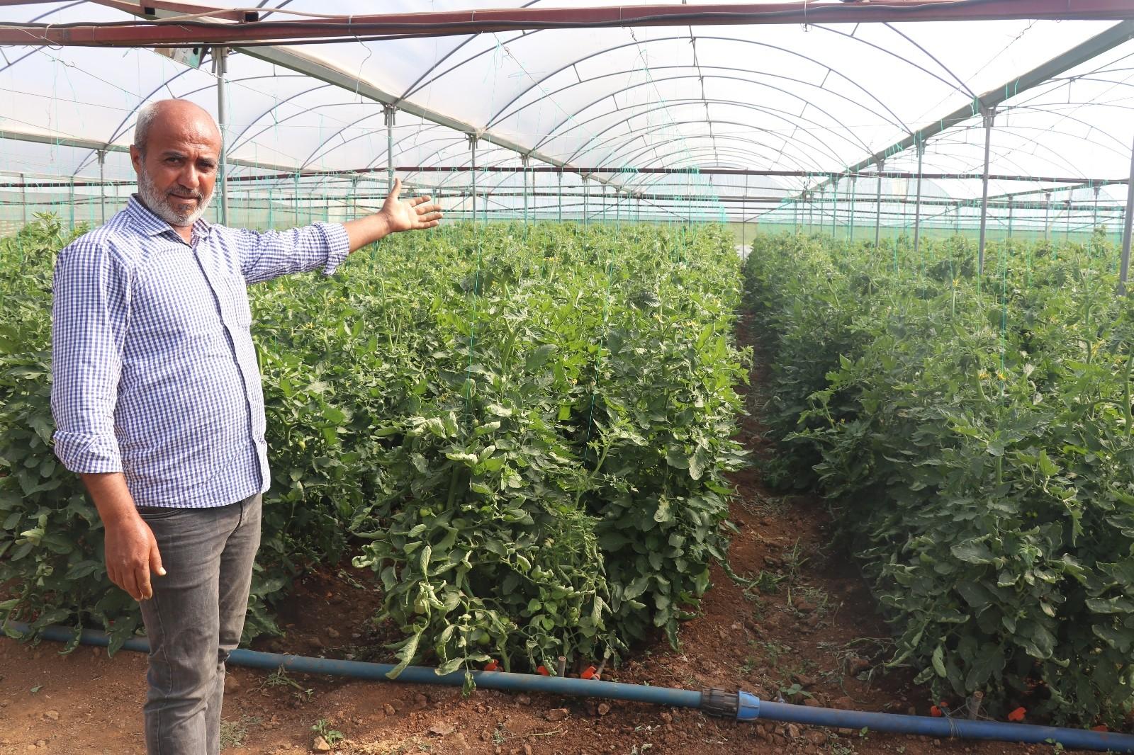 Kurduğu sera ilçenin domates ihtiyacının yüzde 15'ini karşılıyor