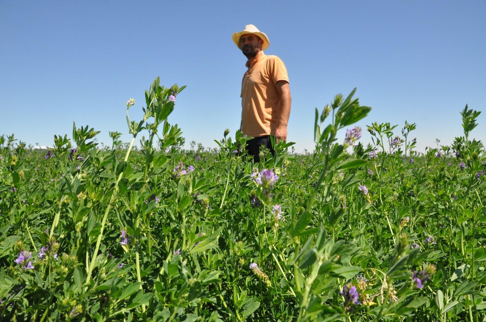 Mardin'de buğday ve mısır yerine yonca eken çiftçinin yüzü güldü