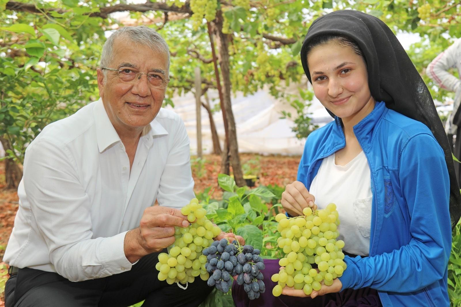 Mezitli'de örtü altı üzüm hasadı başladı