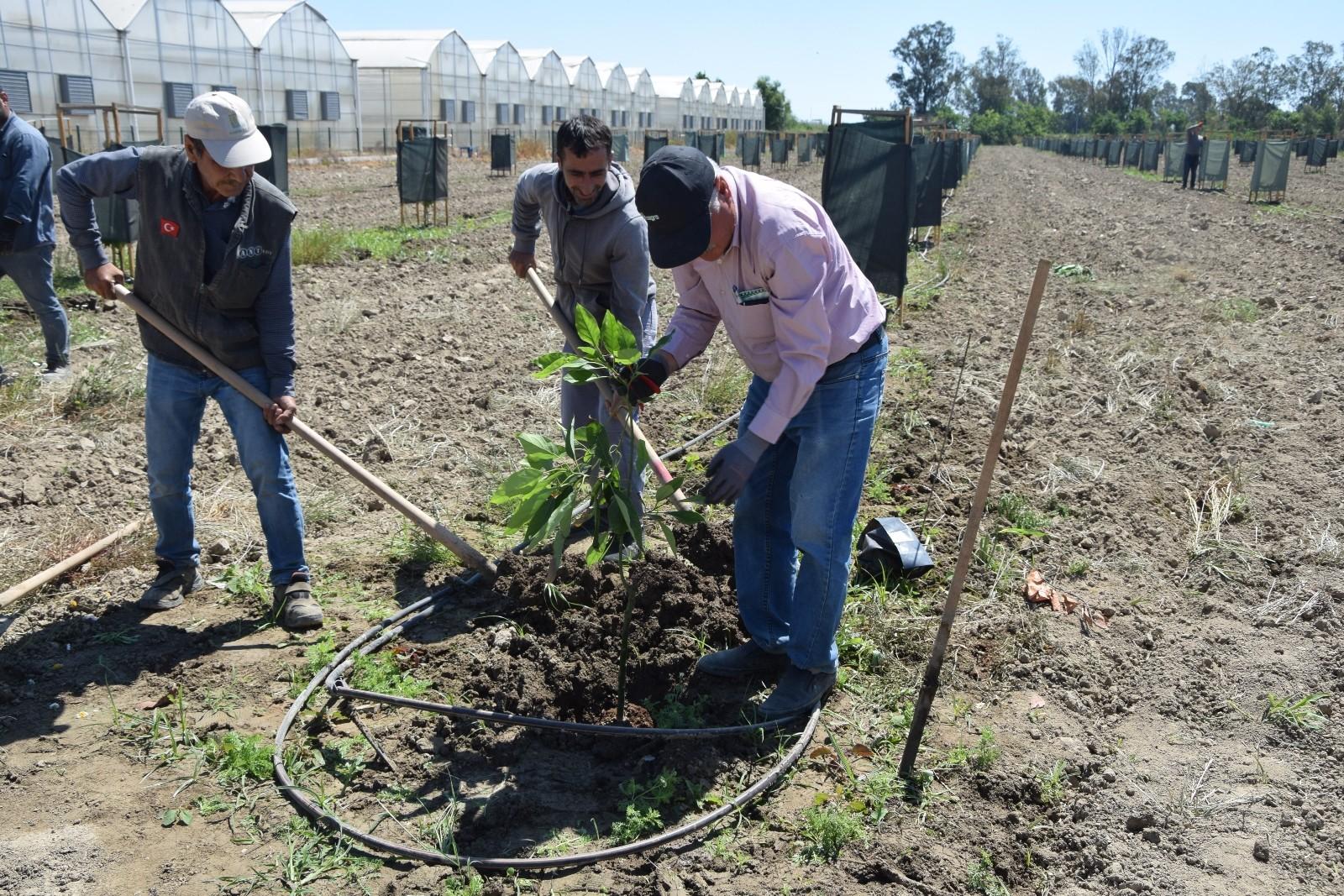 (ÖZEL) Sofraların vazgeçilmez lezzeti avokadoya talep arttı, ekim alanları genişletildi